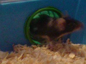 Mr Duke the mouse